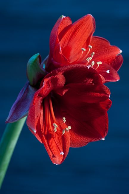 red amaryllis flower.jpg